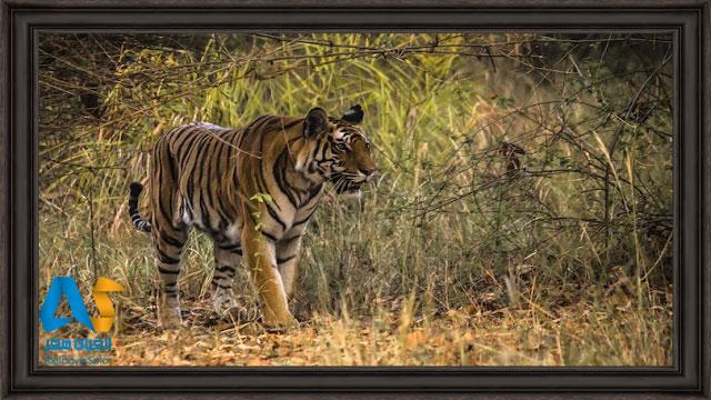 ببر بنگال در پارک ملی بندهاوگار هند